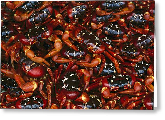 Ai Greeting Cards - Christmas Island Red Crab Gecarcoidea Greeting Card by Jean-Paul Ferrero