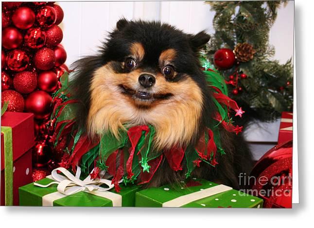 Pomeranian Greeting Cards - Christmas Portraits - Pomeranian Greeting Card by Renae Laughner