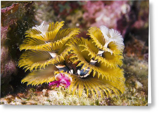 Greater Antilles Greeting Cards - Christmas Tree Worm Bonaire Greeting Card by Pete Oxford
