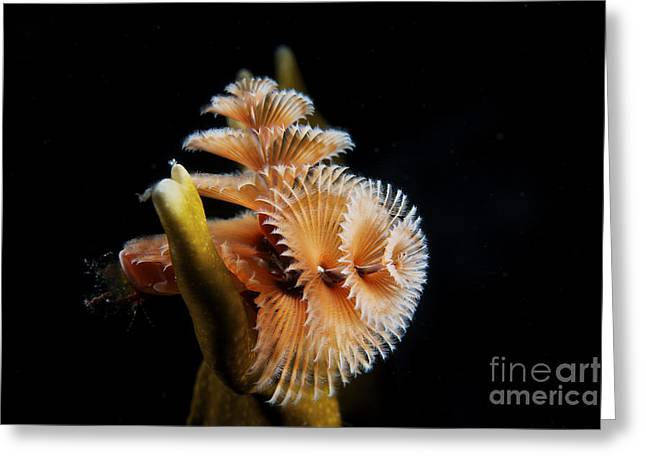 Undersea Photography Greeting Cards - Christmas Tree Worm In Fire Coral Greeting Card by Terry Moore