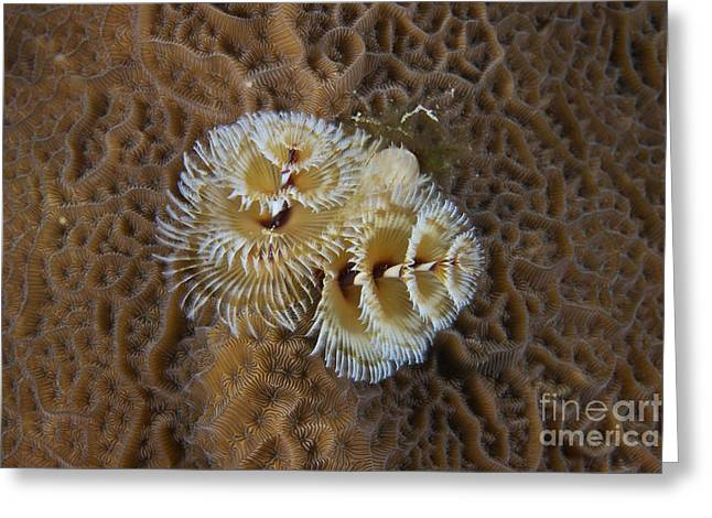 Undersea Photography Greeting Cards - Christmas Tree Worm In Hard Coral Greeting Card by Terry Moore