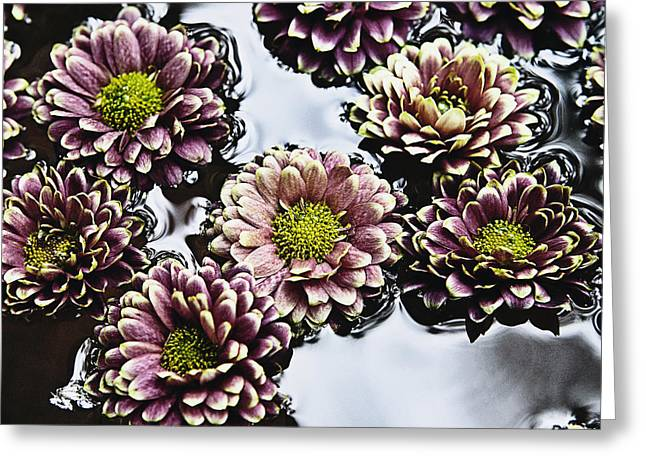 Chrysanthemum 3 Greeting Card by Skip Nall