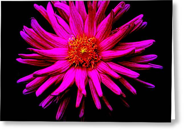Floral Photographs Greeting Cards - Chrysanthemum Greeting Card by Tam Graff