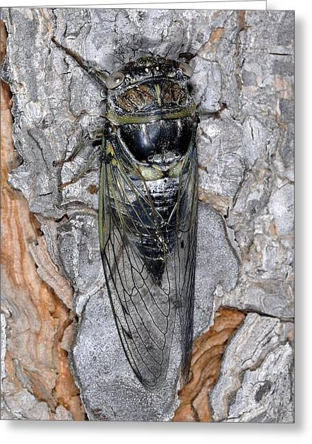 Cicada Greeting Cards - Cicada Greeting Card by Chris Hellier