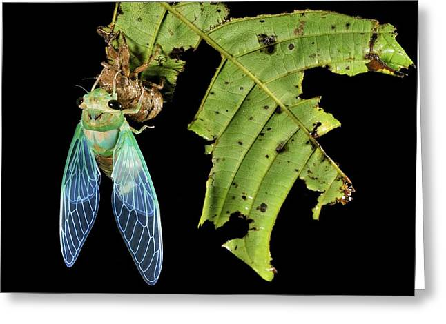 Cocoon Greeting Cards - Cicada Emerging From Chrysalis Greeting Card by Robbie Shone