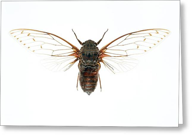 Cicada Greeting Cards - Cicada Greeting Card by Lawrence Lawry