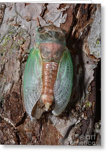 Emergence Greeting Cards - Cicada Metamorphosis Greeting Card by Ted Kinsman