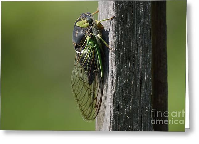 Cicada Greeting Cards - Cicada Greeting Card by Randy Bodkins