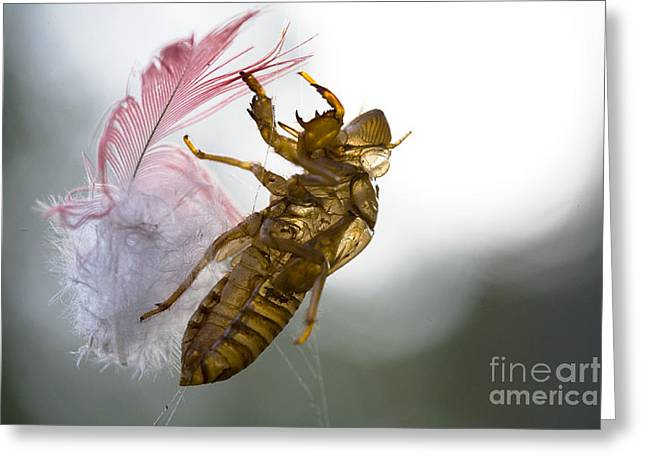 Cicada Greeting Cards - Cicada shell with galah feather Greeting Card by Sheila Smart