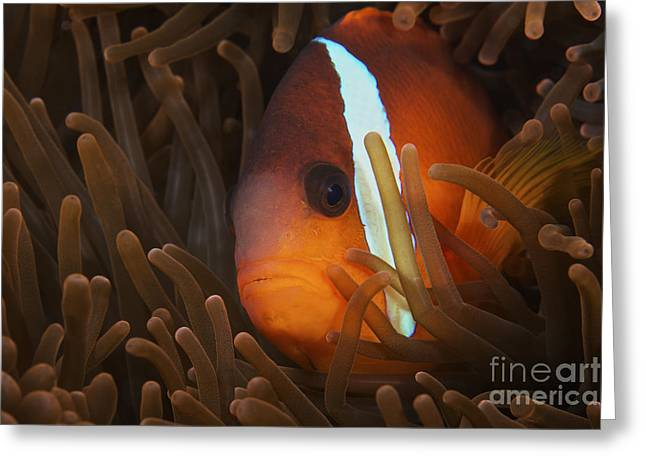Undersea Photography Greeting Cards - Cinnamon Clownfish In Its Host Anemone Greeting Card by Terry Moore