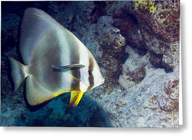 Spadefish Greeting Cards - Circular Batfish Greeting Card by Georgette Douwma