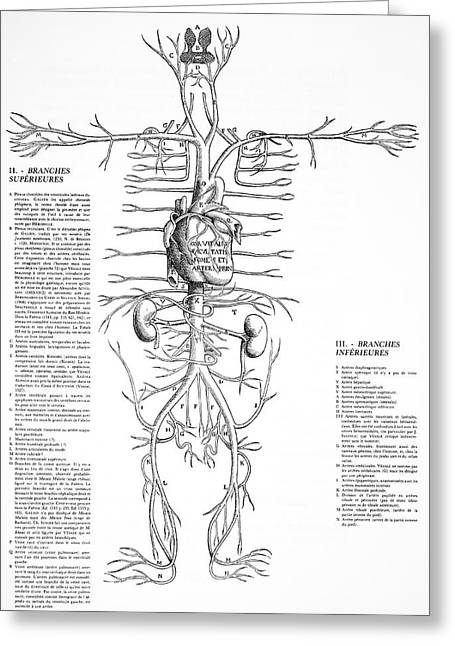 Circulatory System Greeting Cards - Circulatory System, 16th Century Greeting Card by