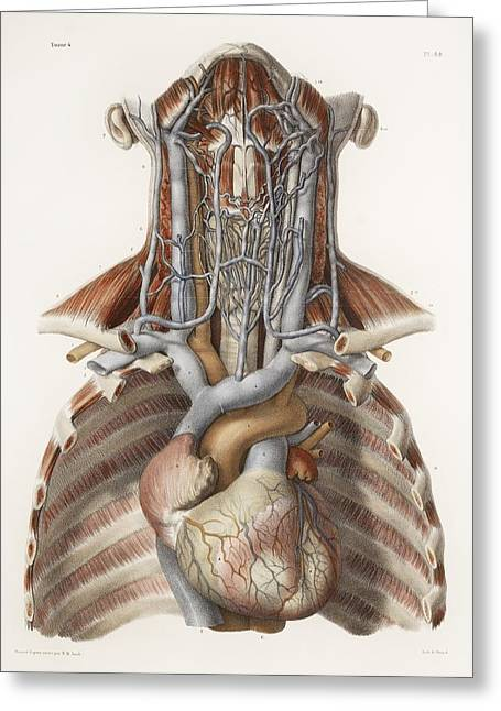 Vol Greeting Cards - Circulatory System, Historical Artwork Greeting Card by