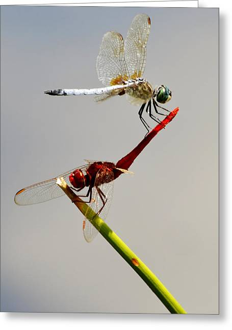 Dragonflies Greeting Cards - Circus Act Greeting Card by Melanie Moraga