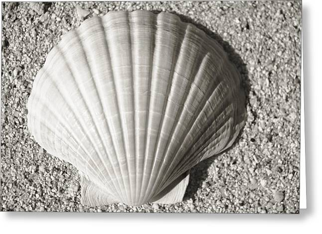 Aquatic Greeting Cards - Clam Fan Greeting Card by Mary Van de Ven - Printscapes