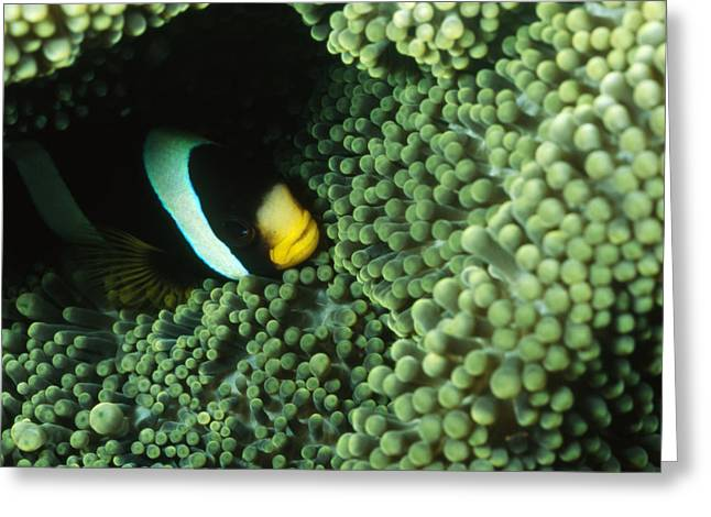 Damselfish Greeting Cards - Clarks Anemonefish, Amphiprion Clarkii Greeting Card by James Forte
