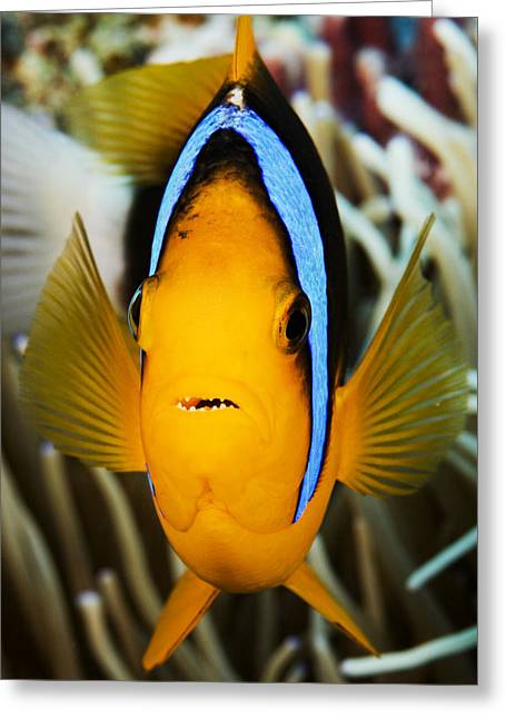 Yap Greeting Cards - Clarks Anemonefish Face Greeting Card by Dave Fleetham - Printscapes