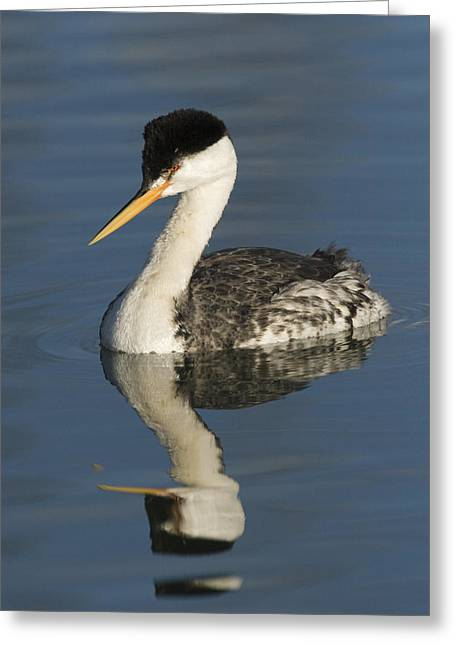 Monterey Bay Image Greeting Cards - Clarks Grebe  Elkhorn Slough Monterey Greeting Card by Sebastian Kennerknecht