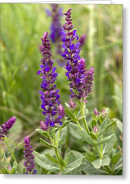 Green Foliage Greeting Cards - Clary Sage (salvia Nemorosa) Greeting Card by Bob Gibbons