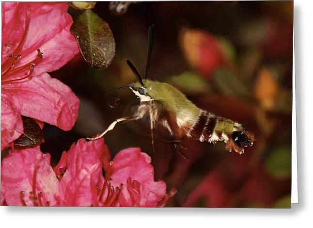 Hovering Greeting Cards - Clear Wing Hummingbird Moth 1 Greeting Card by Lara Ellis