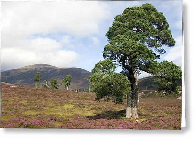 Cleared Scots Pine Forest Greeting Card by Duncan Shaw