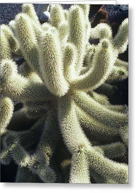 Lanzarote Greeting Cards - Cleistocactus Cactus Greeting Card by Dirk Wiersma