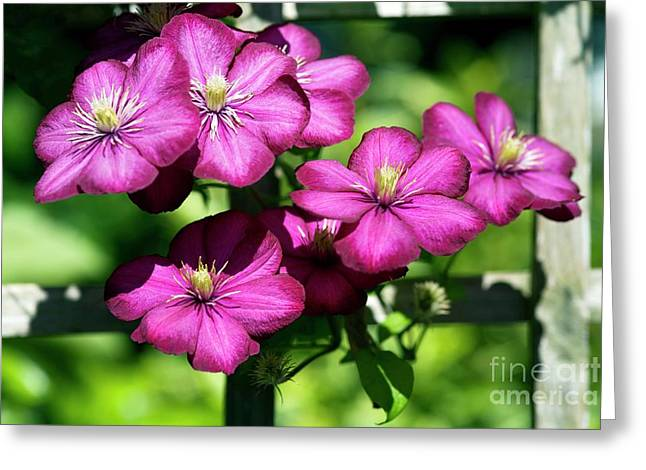 Trellis Greeting Cards - Clematis (clematis Sp.) Greeting Card by Dr Keith Wheeler