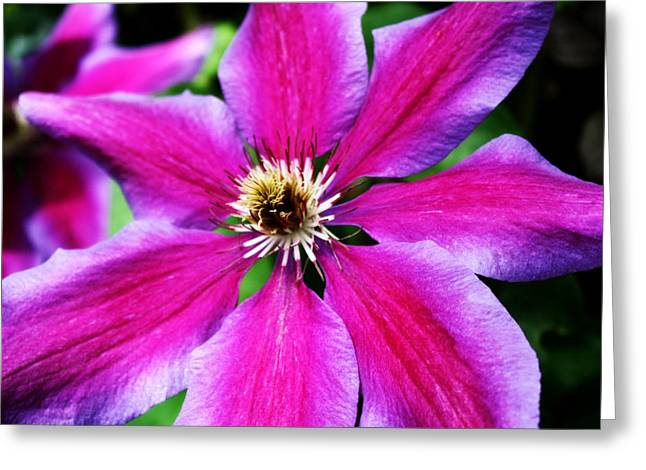 Oregon Flowers Greeting Cards - Clematis Flower Greeting Card by Cathie Tyler