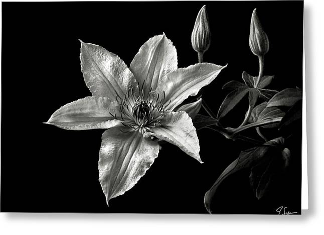 Flower Photos Greeting Cards - Clematis in Black and White Greeting Card by Endre Balogh