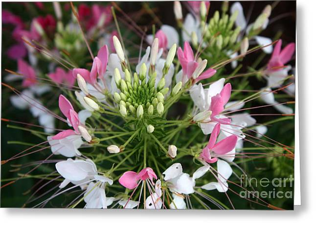 Cleome Flower Greeting Cards - Cleome Greeting Card by David Bearden