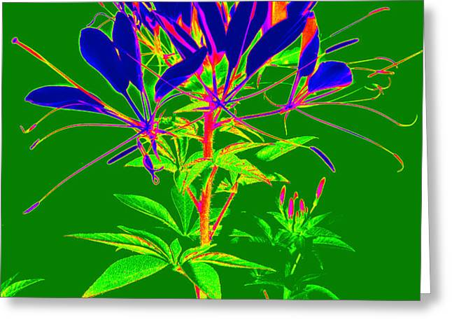 Cleome gone abstract Greeting Card by Kim Galluzzo Wozniak