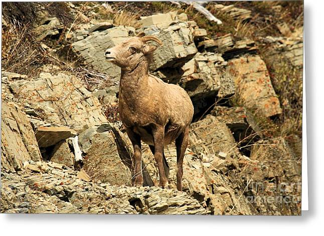 Sheep On Rocks Greeting Cards - Cliff Hanger Greeting Card by Adam Jewell