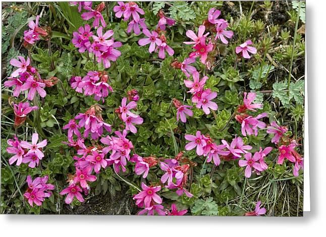 Cliff-primrose (douglasia Laevigata) Greeting Card by Bob Gibbons