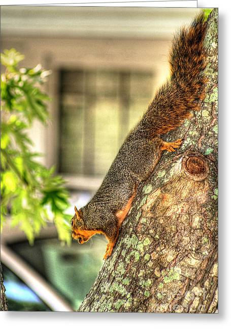 Fox Squirrel Greeting Cards - Climbing Down Greeting Card by Ester  Rogers
