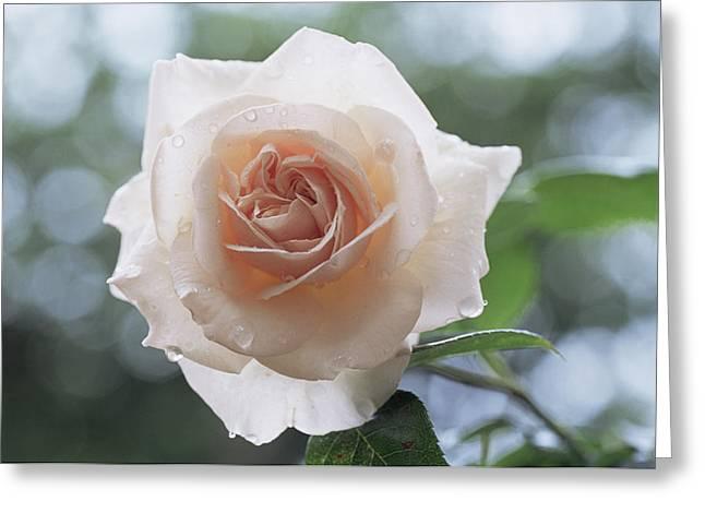 Penny Lane Greeting Cards - Climbing Rose (rosa penny Lane) Greeting Card by Archie Young