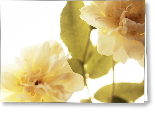 Rosa Sp. Greeting Cards - Climbing Rose (rosa Sp.) Greeting Card by Cristina Pedrazzini