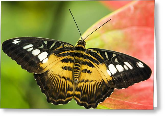 Clippers Greeting Cards - Clipper Butterfly Greeting Card by Power And Syred
