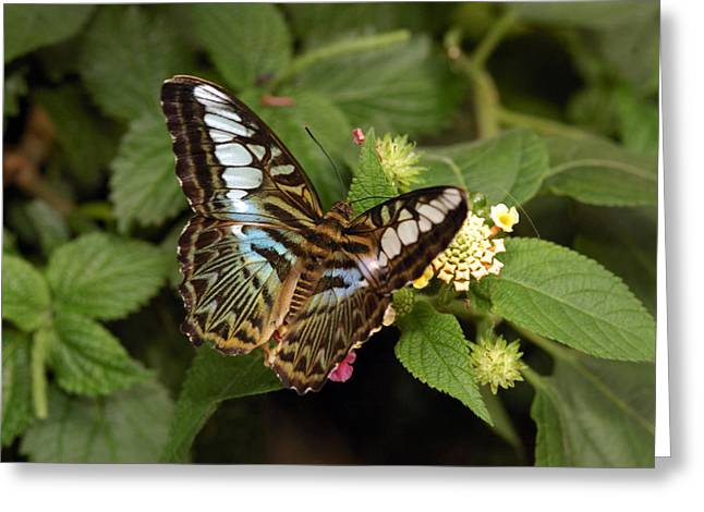Clippers Greeting Cards - Clipper Butterfly Species Parthenos Greeting Card by Darlyne A. Murawski