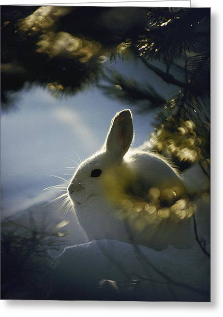 Hare Greeting Cards - Close Backlit Portrait Of A Little Greeting Card by Michael S. Quinton