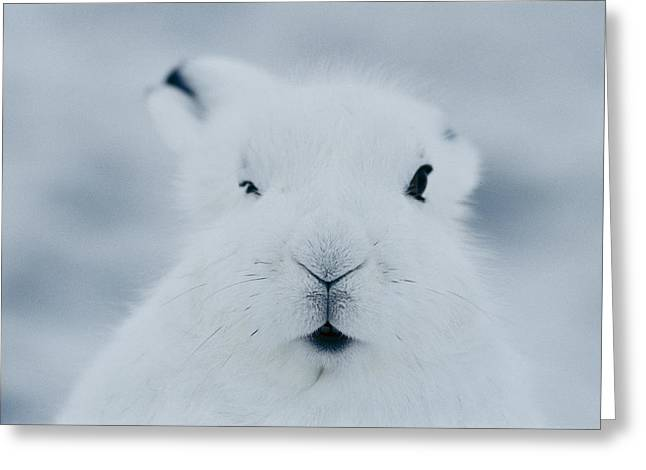 Nunavut Greeting Cards - Close Frontal View Of The Face Of An Greeting Card by Norbert Rosing
