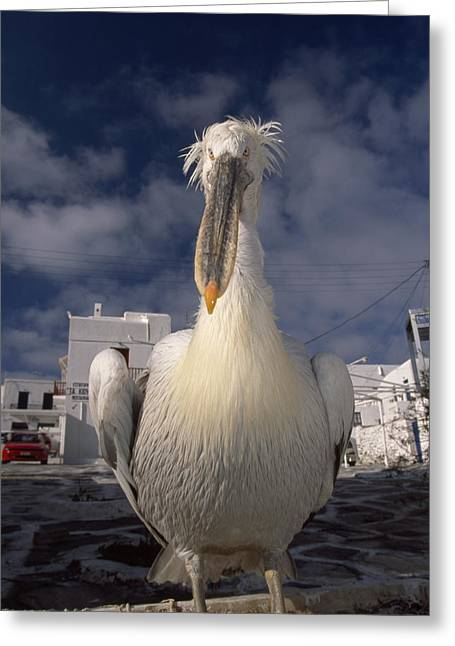 Close Portrait Of A White Pelican Greeting Card by Paul Sutherland
