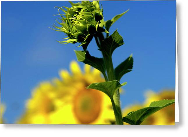 Asteraceae Greeting Cards - Close uo of sunflower Greeting Card by Bernard Jaubert
