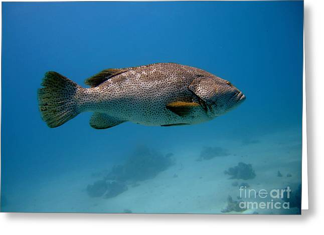 Grouper Greeting Cards - Close-up Grouper Greeting Card by MotHaiBaPhoto Prints