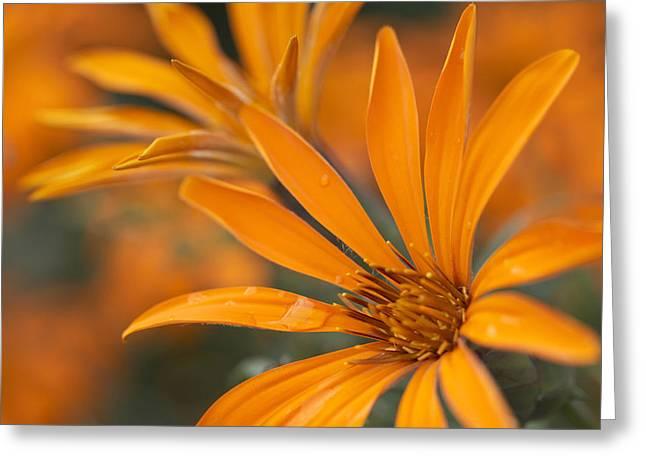 Brightness Greeting Cards - Close-up, Metusia Naranja Flower Greeting Card by Peter Van Rhijn