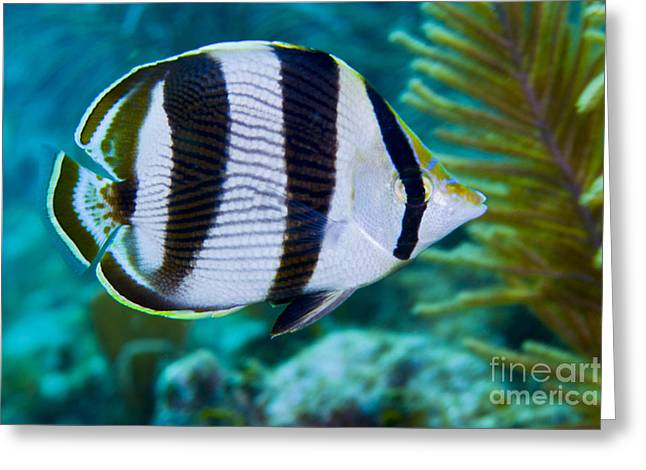 Undersea Photography Greeting Cards - Close-up Of A Banded Butterflyfish Greeting Card by Terry Moore