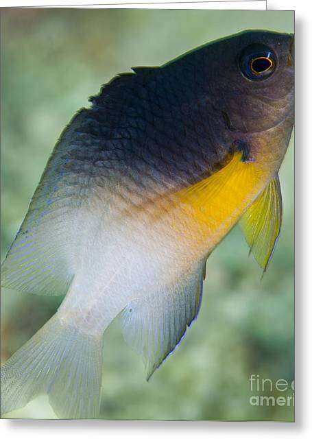 Undersea Photography Greeting Cards - Close-up Of A Bicolor Damselfish, Key Greeting Card by Michael Wood