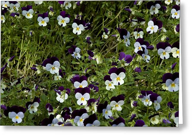 Large White Flower Close Up Greeting Cards - Close-up Of A Field Of Pansies Greeting Card by Todd Gipstein