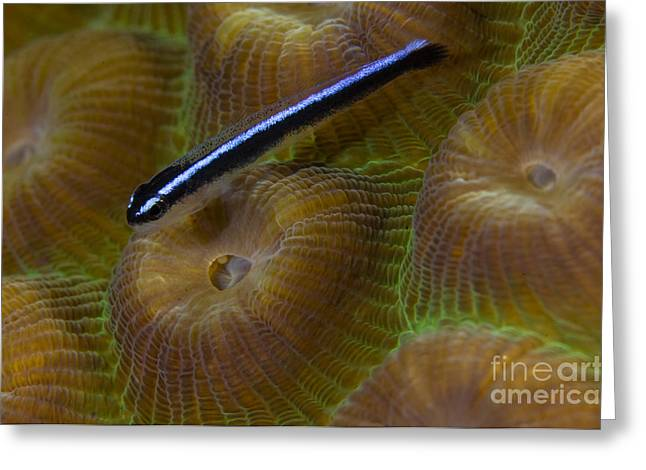 Goby Greeting Cards - Close-up Of A Goby On Coral, Belize Greeting Card by Todd Winner