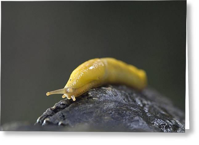 Big Sur California Greeting Cards - Close-up Of A Pacific Banana Slug Greeting Card by Rich Reid