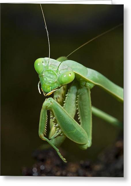 Preying Mantis Greeting Cards - Close Up Of A Praying Mantis Greeting Card by Jack Goldfarb